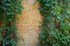 Backsteinmauer bedeckt mit grünen Blättern der wilden Traube Lizenzfreies Stockfoto