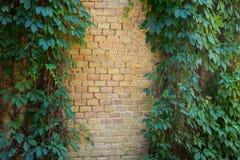 Backsteinmauer bedeckt mit grünen Blättern der wilden Traube Lizenzfreie Stockfotografie