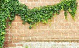 Backsteinmauer mit dem Exemplarplatz gestaltet durch Efeu stockfoto