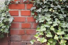 Backsteinmauer mit Efeu stockfoto