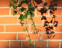 Backsteinmauer mit Efeu und Schatten Lizenzfreie Stockfotos