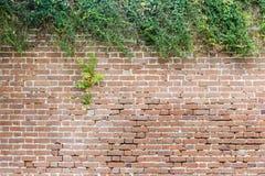 Backsteinmauer mit natürlicher, kontrastierender Hecke für Dia-Titel mit hervorstehendem Strauch Stockbilder
