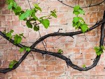Backsteinmauer mit Rebe und grünen Blättern der Traube Lizenzfreies Stockfoto
