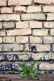 Backsteinmauer und Löwenzahn Stockbilder