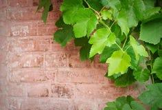Backsteinmauer und Rebe Lizenzfreies Stockfoto