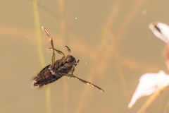Backswimmer pluskwa Obrazy Royalty Free