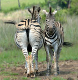 Backup. Zebra protecting one another's face from biting flies Royalty Free Stock Image