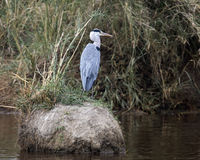 Backview of a Blue Heron with head turned to right standing on small island in pond Royalty Free Stock Image