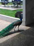 Backview de un pájaro del pavo real imágenes de archivo libres de regalías