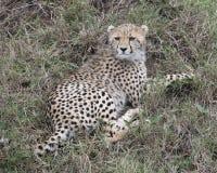 Backview del primer de un guepardo joven que miente en la hierba que mira al revés hacia cámara Imagen de archivo