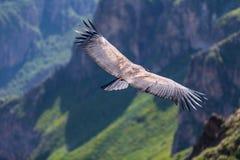 Backview du vol de condor au-dessus du canyon de colca dans chivay, Pérou recherchant la proie morte photos stock