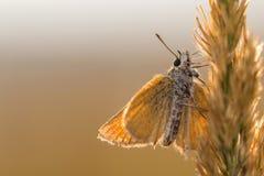 Backview eines orange Schmetterlinges auf einem Blatt stockfotografie