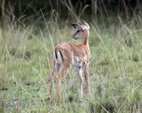 Backview of a single Thompson Gazelle calf standing in grass with head turned to left Royalty Free Stock Image