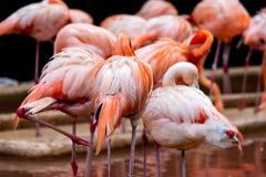 Backview van flamingoes bij een vijver royalty-vrije stock afbeeldingen