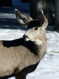 Backward Glance. Female mule deer looking back on a snowy day in the forest Royalty Free Stock Images