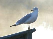 Backward Looking Seagull Royalty Free Stock Photos