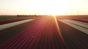 Aerial view of multi-colored tulip field. Backwards aerial pan of a multi-colored tulip field in the Netherlands at sunrise stock footage