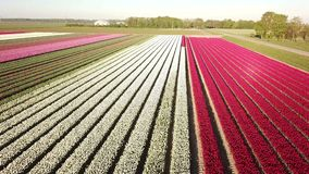 Aerial view of multi-colored tulip field. Backwards aerial pan of a multi-colored tulip field in the Netherlands at sunrise stock video footage