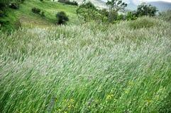 Backwash zieleni zbożowi pola obraz stock