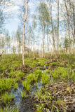 Backwater in the forest, on bunches grows the first spring grass among the set of old branches and leaves. Trees are rarely located in the background of the Royalty Free Stock Photo