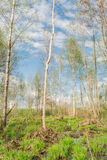 Backwater in the forest, on bunches grows the first spring grass among the set of old branches and leaves. Trees are rarely located in the background of the Royalty Free Stock Image