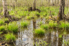 Backwater in the forest, In the water the blue sky and tree trunks are reflected, on bunches grows the first spring grass among. The set of old branches and Stock Image