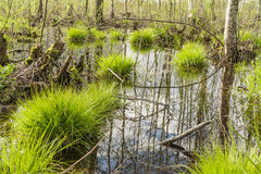 Backwater in the forest, In the water the blue sky and tree trunks are reflected, on bunches grows the first spring grass among. The set of old branches and Stock Images