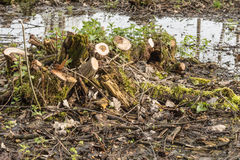 The backwater in the forest, In the water the blue sky and tree trunks are reflected, stumps from felled trees Royalty Free Stock Photography