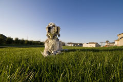 In the backyard. An English Setter laying on the grass in the backyard Royalty Free Stock Photos