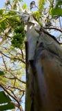 Backyard Banana Tree. View from the bottom of a local hawaiian apple banana tree Stock Photos