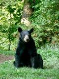 Backyard Bear. Black bear in backyard of home near Asheville, North Royalty Free Stock Photo