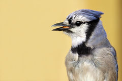 Backyard Beauty. Closeup of a Blue Jay against a blurred background Stock Photo