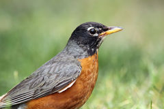 Backyard Beauty. Closeup of an American Robin against a blurred background Royalty Free Stock Image