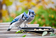 Backyard Bluejays Royalty Free Stock Images