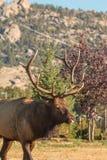 Backyard Bull Elk Royalty Free Stock Image