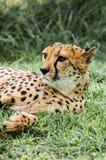 Backyard Cheetah Royalty Free Stock Photos