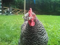 Backyard chicken Stock Photography