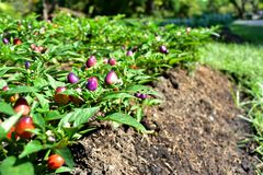 Backyard. Chili purple and red pepper in backyard small garden Royalty Free Stock Image
