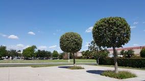 Backyard Ficus Duo Stock Photo