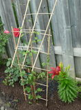 Backyard Gardening. Roses and lilies growing in the backyard against a fence. Backyard gardening showing wooden trellis and black mulch chips Royalty Free Stock Photo