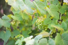 Backyard Grapes  3. Images of backyard garden grapes Stock Images