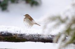 Backyard Hermit Thrust. Backyard birding Hermit Thrust in winter Snow stock image