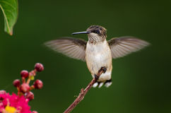 Backyard Hummingbird. Backyard birding Ruby Throat Hummingbird in Athens Georgia stock image
