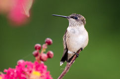 Backyard Hummingbird. Backyard birding ruby throat hummingbird coming to nectar feeder royalty free stock images
