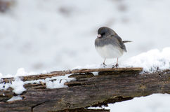 Backyard Junco. Backyard birding Dark Eyed Junco in snow royalty free stock photos