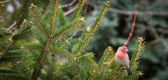 Backyard Male House Finch Stock Photo