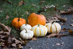 Harvest Celebration. In the backyard with many different Pumpkins Stock Photography