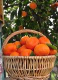 Backyard Oranges Royalty Free Stock Photos