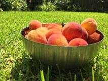 Backyard peaches. Bowl of ripe peaches in the backyard of a suburban home Stock Photography