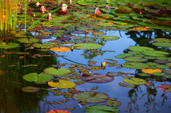 Backyard pond. Beautiful white and pink water lilies floating on a pond Royalty Free Stock Image